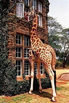 stay in the giraffe manner in Africa (: