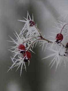 Hawthorn Needle Crystals