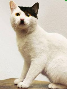 CATS THAT LOOK LIKE HITLER!!!