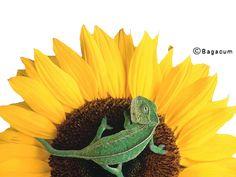 Tube Fleur soleil