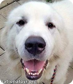 8/11/15 Beacon, NY - Great Pyrenees. Meet Heathcliff - new!, a dog for adoption. http://www.adoptapet.com/pet/13592756-beacon-new-york-great-pyrenees