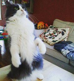 Hey wait a minute...You're not my real mommy!#InstaTags4Likes #cat #cats #kitten #kittens #catsagram #catstagram #instagood #pet #pets #animal #animals #petstagram #petsagram #photooftheday #catsofinstagram #ilovemycat #instagramcats #catoftheday #caturday #lovecats #lovekittens #adorable #catlover #instacat #tortie #oriental #pin