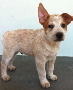 Stumpy Tail Australian Cattle Dog | Pedigree Pure, Papers , Vaccinated, Wormed , Microchipped, Very Happy ...
