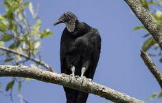 Een Zwarte gier (Coragyps atratus) uit Suriname. Door de bosnegers wordt hij o.a. Opete genoemd naar de god Opete.