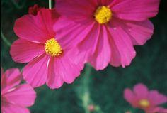 Cosmos from own garden. Cosmos, Castle, Bloom, Garden, Plants, Beautiful, Garten, Universe, Gardens
