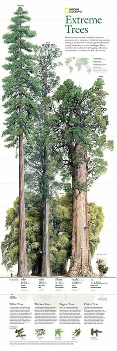 29 Best Ideas For Sequoia Tree Tattoo Nature Giant Tree, Big Tree, Horticulture, Sequoia Sempervirens, Sequoiadendron Giganteum, Bristlecone Pine, Nature Tree, Tree Forest, Tree Art