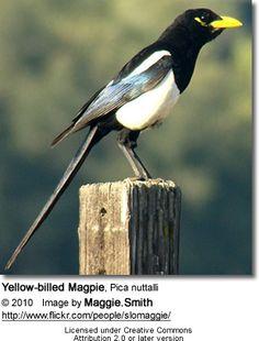 Yellow-billed Magpie, Pica nuttalli