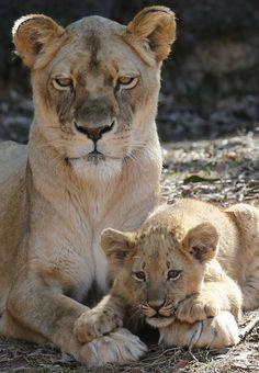 Афрички лавица Кики омогућава један од њених четири 13-недеље-старих младунцима почива на њеним предњим шапама на Зоо Атланта у Атланти, Џорџија. Тхе Лион младунци, који ж ...