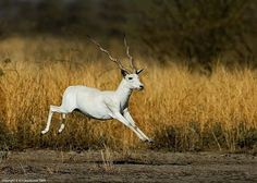 Albino BLACKBUCK (Antilope cervicapra) - Google Search
