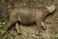 Puntung, a female Sumatran rhinoceros, in forest stockade in Sabah, Malaysian Borneo a day after her capture in December 2011.
