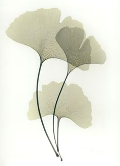 Beyond Light, a web site about Albert Koetsier's artwork about the intersection of art (photography) and science (X-Rays) Botanical Illustration, Botanical Prints, Illustration Art, Office Deco, Ginkgo, Leaf Drawing, Art Folder, Leaf Art, Art Graphique