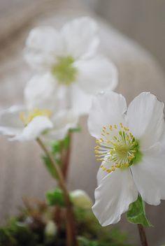 <3 Helleborus - Christmas rose <3