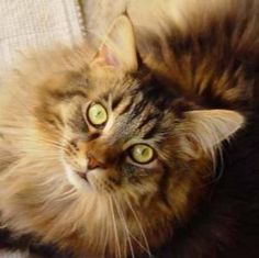 Love me some Maine Coons! They are beautiful! Like my Bella :)
