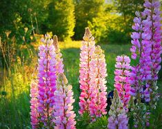 Lupine Light by Karen Cook #flowers #lupine