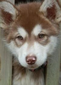 The Red Alaskan Malamute can sometimes looks very similar to a wolf. They are great household pets. Check out some different pictures of the red malamute. Giant Alaskan Malamute, Alaskan Malamute Puppies, Malamute Dog, Pet Dogs, Dogs And Puppies, Pets, Puppy Pictures, Animal Pictures, Animals Beautiful