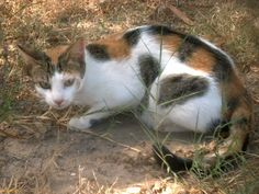 calico cat   calico cat Image