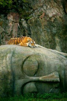 Tiger resting on Buddha's head