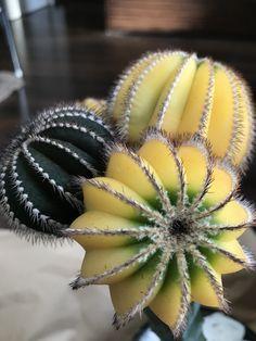 Uebelmannia pectinifera variegata #Togeya #棘屋