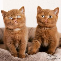 From @catterydelano: Our cinnamon cuties Boaz and Ginger  #cutepetclub [source: http://ift.tt/2bsAldS ]