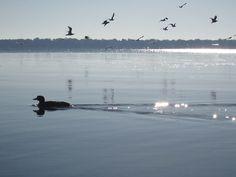 loon, early morning, Lake Monona