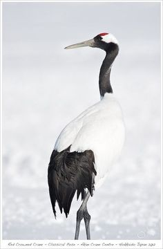 Red-crowned Japanese crane. by cristina
