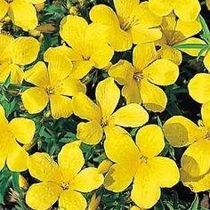 Pase Seeds - Linum Flax Capitatum Perennial Seeds, $8.99 (http://www.paseseeds.com/linum-flax-capitatum-perennial-seeds/)
