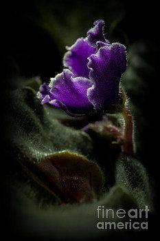 violet,flower, purple, makro, macro, magic, forest, decor, dark, color,enchanted,  photography, decor, Wall decoration, photo on wall decor, wall decor, art, isolated, studio,  photo, products, design,