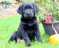 Babycakes | Golden Labrador (Goldador) Puppy For Sale | Keystone Puppies Labrador Puppies For Sale, Black Lab Puppies, Newborn Puppies, Thing 1, New Puppy, Labrador Retriever, Pets, Animals, Chicken