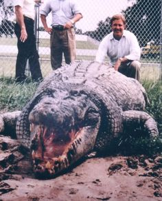 Recently Captured One Ton Crocodile may be the Largest Reptile Ever Recorded