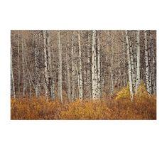 Aspen Trees Framed Print by Jennifer Meyers | Pottery Barn