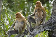 Proboscis Monkey (proboscis monkey).  This endangered species is found in Brunei, Indonesia (Kalimantan) and Malaysia (Sabah and Sarawak).  illegal pet trade and meat, are also used in traditional medicine.