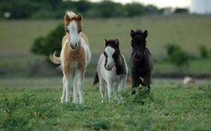 Miniature Horses dreaming!