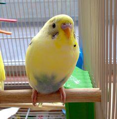 Cutest Parakeet