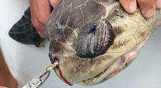 El sufrimiento de esta tortuga nos exige reducir el uso de plástico