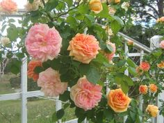 Tips on over-wintering roses.  And don't forget to water roses if you have a dry spell.  Even if they're not blooming and have dropped their leaves, a hard freeze on dry ground will damage their roots.