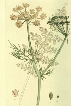 Caraway - Carum carvi - Dried seeds for cookies, soups, and stews - Medicinal for digestive problems -  circa 1803