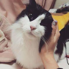 . . 明日はしらたまシャンプーだから 一緒にコジマ出勤! 何日ぶりだろ〜しーちゃん😩💓 ほんと可愛い我が家のお猫様🐱🐱🐱 3頭ともそれぞれの可愛さがある! ただ女の子組は顔がちょっぴり 特徴的かな…笑 . . #マンチカン#アメショ#ねこ部#愛猫 #家猫#しらたま#あずき#紅