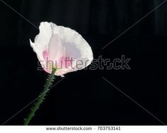 light pink poppy on a dark background