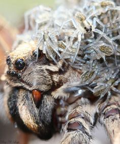 wolf spider with babies.  How adorable.