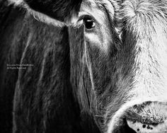 Big Black Angus Cow Very Closeup - Farm Animal Cow Art -Photography Black &…