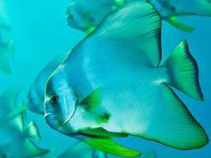 batfish by Brian Skerry