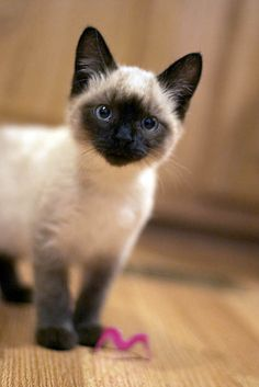 if we ever get another cat we will for sure get a Siamese \u2665