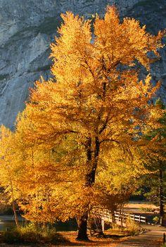 Cottonwood tree at Swinging Bridge, Yosemite National Park ~~by Robin Black~~SR Yosemite National Park, National Parks, Belleza Natural, Tree Forest, Amazing Nature, Beautiful Landscapes, Mother Nature, Nature Photography, Black Photography