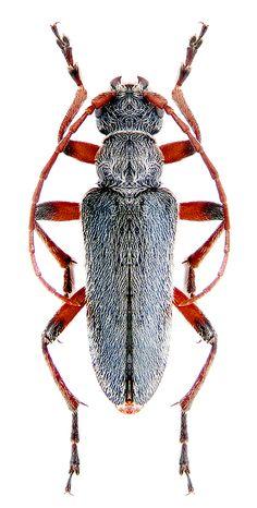 Cortodera holosericea