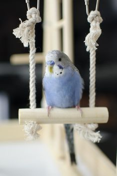 My parakeet Oliver! (Re-pin) I wish Oliver was mine. He's so cute on his wittle swing! ;)