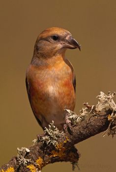 Crossbills photographed in Spain by Adrian Davey http://focusingonwildlife.com/news/crossbills-photographed-in-spain/