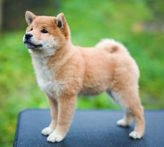 Image result for shiba inu puppy