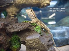 The Lifespan of a Bearded Dragon Depends on Proper Care - Exotic Bearded Dragons Reptiles And Amphibians, Mammals, Dragon Family, Tortoises, Bearded Dragon, Dragons, Creatures, Pets, Board