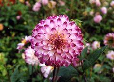 Little Robert (#633) Classification: Dekorative Dahlien Color: weiß, lila Spitzen Height: circa 100 cm Blossom size: bis 6 cm