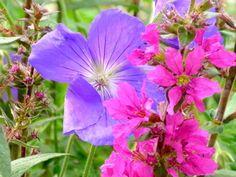 planting geranium at garden in denby dale near wakefield